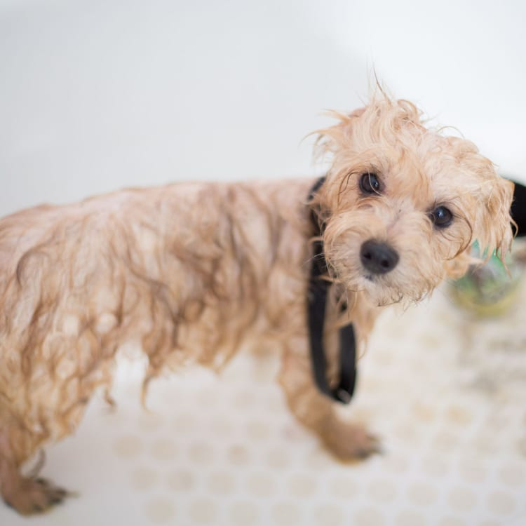 grooming and brushing tips for dogs that are hypoallergenic